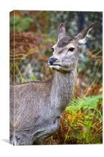 Red Deer In Glen Etive, Canvas Print