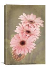 Pink Gerbera Flowers, Canvas Print