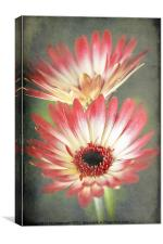 Red and Cream Gerbera, Canvas Print