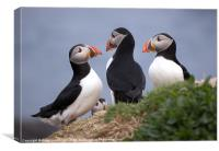 A Contemplation of Puffins, Canvas Print
