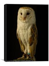 Barn Owl #2, Canvas Print