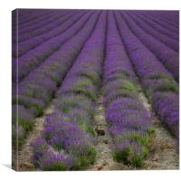 Lepus & Lavender, Canvas Print
