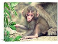 Baby monkey, Canvas Print