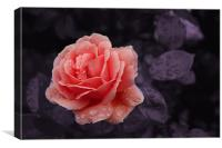 Peach Rose, Canvas Print