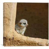 Baby Meerkat, Canvas Print