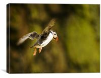 Puffin in Flight, Canvas Print