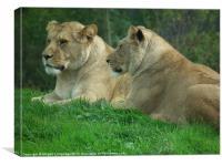 Lionesses, Canvas Print