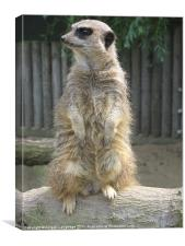 Meerkat, Canvas Print