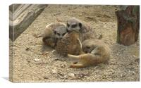 Young meerkats, Canvas Print