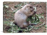 Prairie Dog eating, Canvas Print