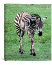 Young Zebra, Canvas Print