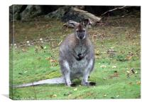 Wallaby, Canvas Print