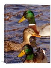 Ducks, Canvas Print