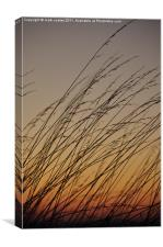 Tall grass blowing in the sunset