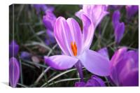 Purple Crocus, Canvas Print