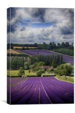 Lavender Field, Canvas Print