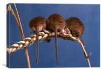 3 Blind Mice, Canvas Print