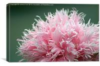 pink explosion, Canvas Print