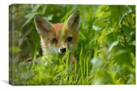 Baby Fox, Canvas Print