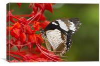 King Swallowtail., Canvas Print