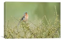 Singing Chaffinch, Canvas Print