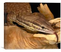 Varanus acanthurus tongue shot, Canvas Print
