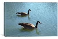 Swimming Canada Geese, Canvas Print