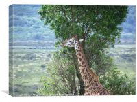 Browsing Giraffe, Canvas Print