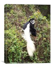 Colobus Monkey, Canvas Print