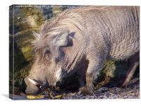Snuffling Warthog, Canvas Print