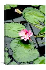 The beauty of Water Lily, Canvas Print