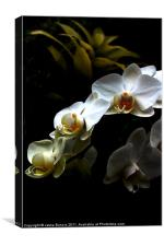 White orchid on dark background, Canvas Print