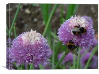 Bees love chives!!!, Canvas Print