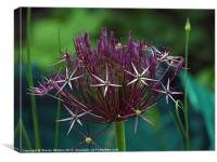 Allium, Canvas Print