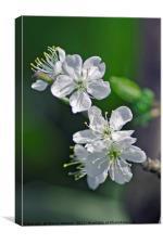 """Prunus domestica """"Victoria"""", Canvas Print"""