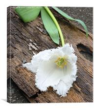 FRILLY WHITE TULIP, Canvas Print