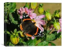 RED ADMIRAL ON DAHLIA, Canvas Print