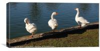 THREE WHITE GEESE, Canvas Print