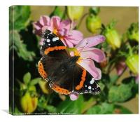 RED ADMIRAL BUTTERFLY, Canvas Print