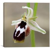 Ophrys straussii, Canvas Print