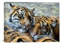 TIGER CUBS, Canvas Print