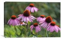 Purple Echinacea Coneflowers, Canvas Print
