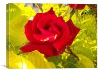 Rose, Canvas Print