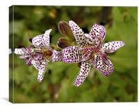 Toad Lily close-up, Canvas Print
