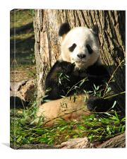 Panda Eats Bamboo, Canvas Print