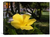 golden hibiscus, Canvas Print