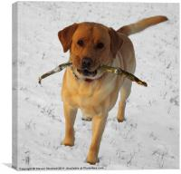 Labrador in the snow, Canvas Print