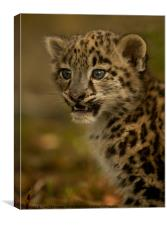 Snow Leopard Cub, Canvas Print