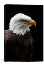 Majestic American Bald Eagle