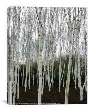 Silver Birch Tree, Canvas Print